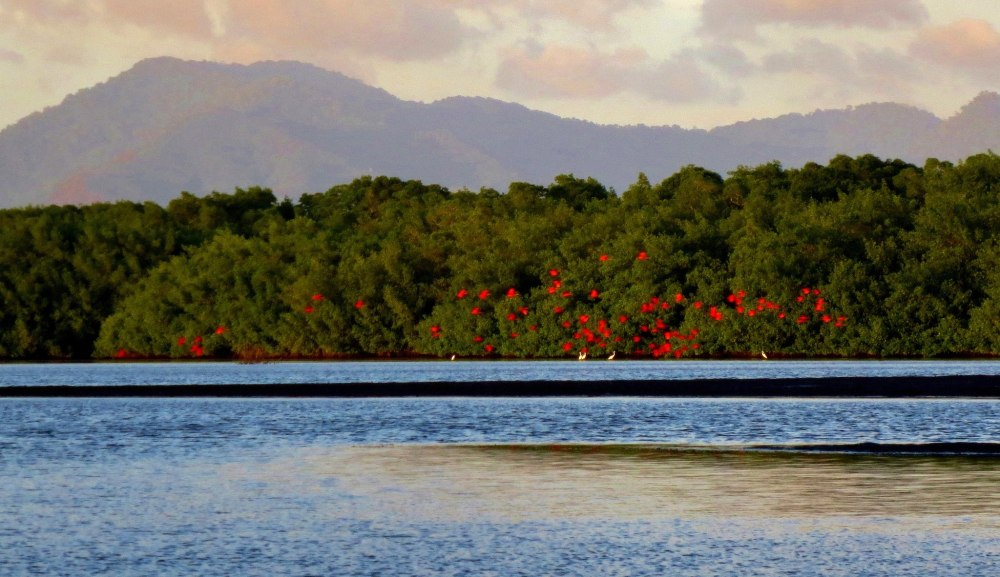 Scarlet Ibis flying in from Venezuela to roost in the swamps of Trinidad. Photo by Wake and Wander.